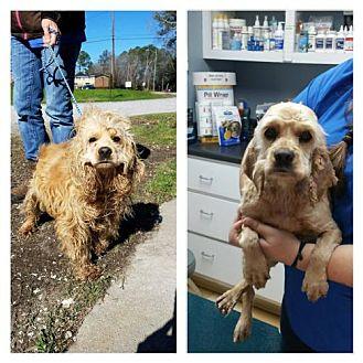 Cocker Spaniel Mix Dog for adoption in Brooklyn, New York - Ilsa Lund