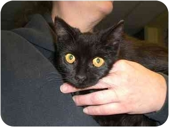 Domestic Shorthair Cat for adoption in Lombard, Illinois - Sprite