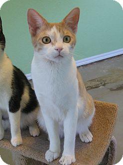 Domestic Shorthair Cat for adoption in Edmond, Oklahoma - Monty