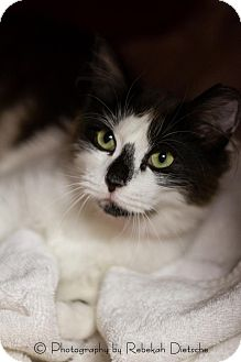 Domestic Longhair Cat for adoption in Byron Center, Michigan - Solo