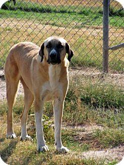 Anatolian Shepherd Mix Dog for adoption in Quinlan, Texas - Sassy