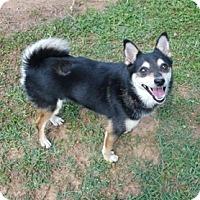 Adopt A Pet :: Juneau (POM-HF) - Brattleboro, VT