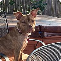 Adopt A Pet :: Rosie - bridgeport, CT