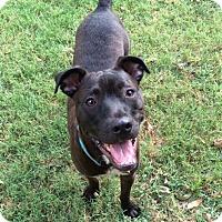 Adopt A Pet :: Stevie Wonder - Austin, TX