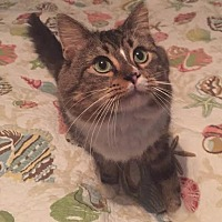 Domestic Mediumhair Cat for adoption in Port Charlotte, Florida - Mr. Belvedere