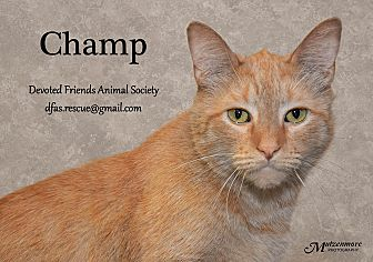 Domestic Shorthair Cat for adoption in Ortonville, Michigan - Champ