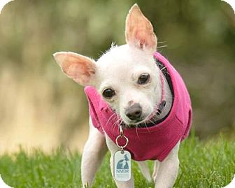 Terrier (Unknown Type, Small)/Chihuahua Mix Dog for adoption in Colorado Springs, Colorado - Megan