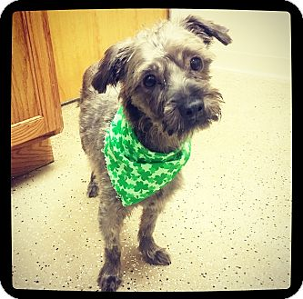 Yorkie, Yorkshire Terrier/Shih Tzu Mix Dog for adoption in Grand Bay, Alabama - Trooper