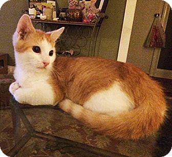 American Shorthair Cat for adoption in Metairie, Louisiana - Admiral Pinkerton