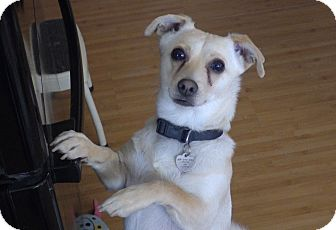 Jack Russell Terrier/Chihuahua Mix Dog for adoption in Quail Valley, California - Finnegan