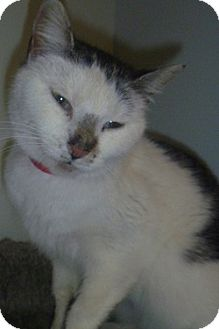 Domestic Shorthair Cat for adoption in Hamburg, New York - Meeska