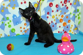Domestic Shorthair Kitten for adoption in Orlando, Florida - Handsome Jack