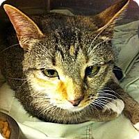 Adopt A Pet :: Shimsham - Pittstown, NJ
