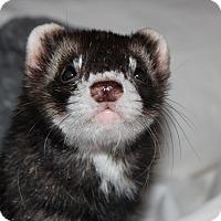 Adopt A Pet :: Rebel - Chantilly, VA