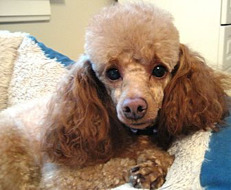 Poodle (Miniature) Dog for adoption in Dover, Massachusetts - Lyllie Mae
