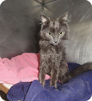 Domestic Longhair Cat for adoption in Barnegat, New Jersey - Smokey