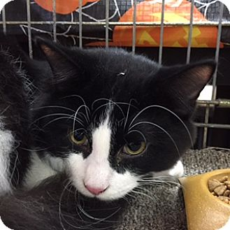 Domestic Mediumhair Cat for adoption in Toronto, Ontario - Meanie