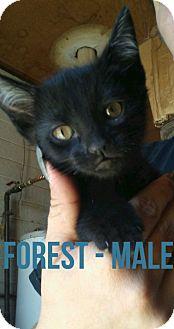 Domestic Mediumhair Kitten for adoption in Glendale, Arizona - FOREST