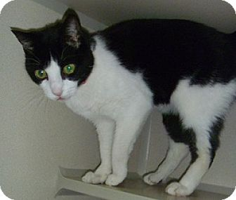Domestic Shorthair Cat for adoption in Hamburg, New York - Sonya