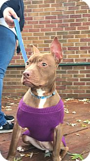 American Pit Bull Terrier Mix Puppy for adoption in South Park, Pennsylvania - Penny