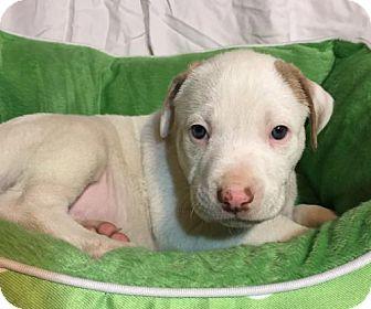 Hound (Unknown Type)/Pit Bull Terrier Mix Puppy for adoption in Hillsboro, Missouri - Mr Flanders