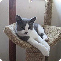Domestic Shorthair Cat for adoption in Baltimore, Maryland - Trumpet