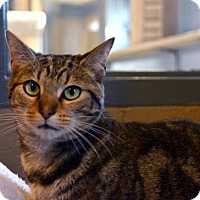 Domestic Shorthair Cat for adoption in Versailles, Kentucky - Indie