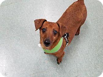 Dachshund Mix Dog for adoption in Woonsocket, Rhode Island - Scotch