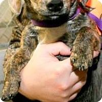 Adopt A Pet :: WIN(PB MINIATURE DACHSHUND!!) - Wakefield, RI