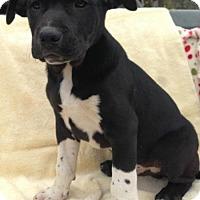 Adopt A Pet :: Draven - Allentown, PA