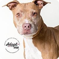Adopt A Pet :: Danny Boy - Apache Junction, AZ