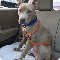 Adopt A Pet :: Fitz - Villa Park, IL