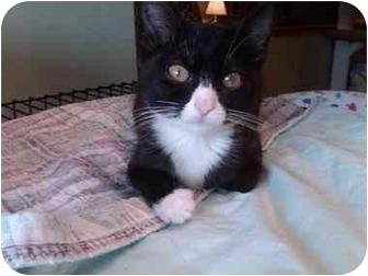 Domestic Shorthair Kitten for adoption in Erie, Pennsylvania - Sylvia