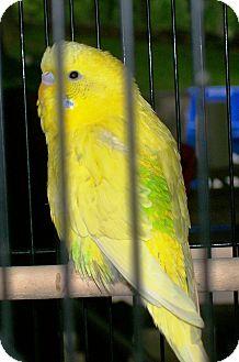 Budgie for adoption in Lenexa, Kansas - Tweety