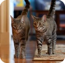Domestic Shorthair Cat for adoption in Medford, Massachusetts - Sir Salt