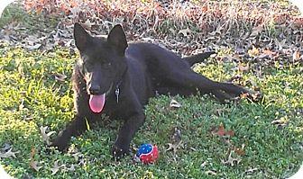 German Shepherd Dog/Labrador Retriever Mix Dog for adoption in Nashville, Tennessee - Jet