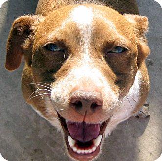 Dachshund/Corgi Mix Dog for adoption in Oakley, California - Quincy