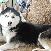 Adopt A Pet :: Niko - Brick, NJ