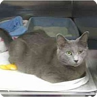 Adopt A Pet :: Grey - Greenville, SC