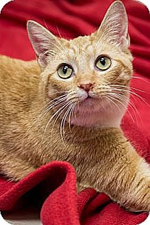 Domestic Shorthair Cat for adoption in Chicago, Illinois - Ginger