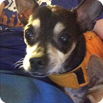 Chihuahua Dog for adoption in S. Pasedena, Florida - Bennie