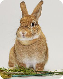 Dwarf Mix for adoption in Williston, Florida - Cinnamon