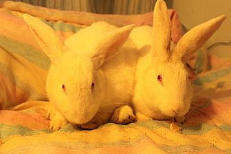 New Zealand Mix for adoption in Hillside, New Jersey - Cupcake & Marshmallow