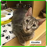 Domestic Shorthair Cat for adoption in Miami, Florida - Klondike