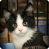 Adopt A Pet :: Colin - Springfield, PA