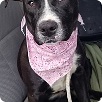 Adopt A Pet :: Sasha - Bronx, NY