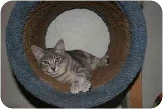Domestic Shorthair Cat for adoption in La Mesa, California - Silver