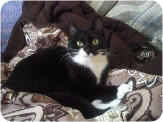 Domestic Shorthair Cat for adoption in Easley, South Carolina - Ava