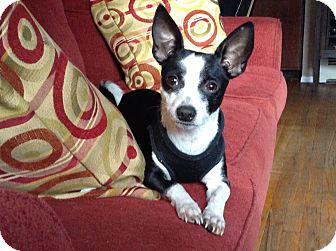 Chihuahua Mix Dog for adoption in Shirley, New York - Hermey aka Paco