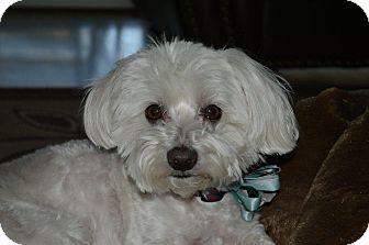 Maltese Dog for adoption in Irvine, California - SAMMY